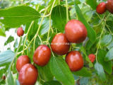 Zizyphus Jujuba Extract, Mangiferin & 5-Htp