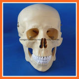 High Quality Anatomical Training Human Skull Model