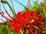 Uprightdaturaflower Extract /Datura Stramonium Extract Powder