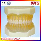 Enlarged Dental Care Anatomical Teeth Teaching Model, Tooth Model