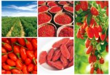 Organic Goji Berry From Ningxia