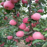 with Global Gap Certificate Fresh FUJI Apple