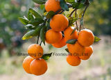 Fresh Chinese Orange with High Quality