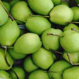 Fresh Pears, Shandong Pear