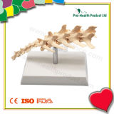 Canine Vertebral Column Teaching Model
