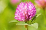 Red Clover Extract Isoflavones 8%-40% Good Quality