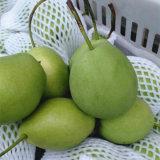 Green Color Fresh Shandong Pear