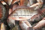 Chinese Factory Farming Fish Tilapia