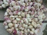 2014 Pure White Garlic 5.0cm+