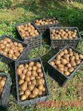 Unigrow Bio Organic Fertilizer on Kiwifruit Planting