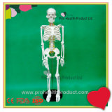 85cm Human Body Bone Skeleton Hanging Model