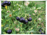 Manufacturer Natural Black Nightshade/Solanum Nigrum L Extract Powder