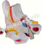 High Hope Medical - Model of Anatomy of Magnified Ear Model