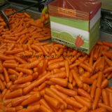 Fresh Sweet Carrot with Good Price and Quality