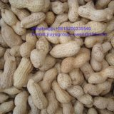 Washed Virginia Raw Peanut in Shell