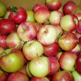 Good Quality for Exporting Fresh Red Star Apple