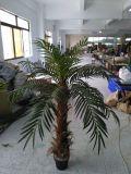 Good Quality Chrysalidocarpus Lutesens Bonsai