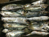 High Quality Frozen Horse Mackerel