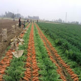 2016 Fresh Carrots S/M Size on Sale