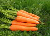 Top Quality Fresh Shandong Carrot