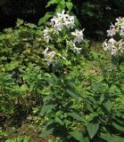 Soapwort Extract/Saponaria Officinalis Extract /Saponaria Root Extract /Saponariap. E