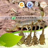 High Quality Crude Medicine Dried Scorpion