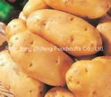 Exporting Fresh Potato From Shandong Province