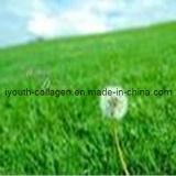 Natural Wild Dandelion Pollen Tablets