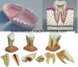 Artificial 3D Teeth Anatomical Dental Model