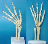 Medical Teaching Human Hand Joint Anatomical Skeleton Model (R020923)