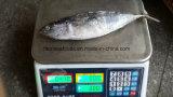 Quality Sea Fish From China- Frozen Bonito/Bullet Tuna Fish Ready Stock