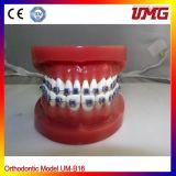 High Quality Plastic Teeth Anatomical, Dental Model