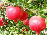 Pomegranate Extract Ellagic Acid, Punicalagin, and Polyphenols