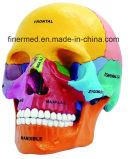Didactic Human Skull Anatomy Model
