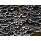 Coriolus Versicolor Extract Coriolus Versicolor P. E Polysaccharide10%-50% Coriolus Versicolor Manufacture