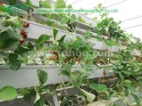 Media base Hydroponic system for Strawberry cultivation