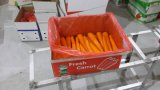 Export Fresh Carrot to Indonesia Market