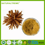 Top Sale Chinese Herbal Extract Caterpillar Fungus