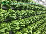 Lettuce Hydroponic System with A-frame stand