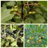 Buckthorn Bark Extract /Buckthorn Bark P. E/Davurian Buckthorn Bark Extract
