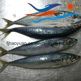Hot Sale New Pacific Mackerel (PM001)