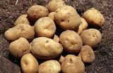 2017 New Crop Fresh Potato with Competitive Price