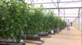 Tomato Growing Hydroponic Growing System Greenhouse