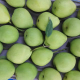 Green Color Health Shandong Pear