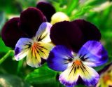 High Quality Pansy Extract / Viola Tricolor Extract CAS No: 84012-42-0