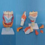 Human Laryngeal Parts Medical Anatomy Model (R070114)