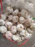 Fresh Garlic 5.0cm, 5.5cm, 6.0cm 2016 New Season