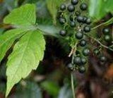 Gypenosides Pentaphyllum Extract 98%