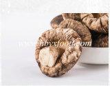 New Crop Shiitake Mushroom, Hot Sale Tea Flower Mushroom