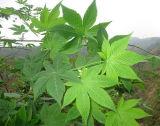 Sweet Tea Leaf Extract